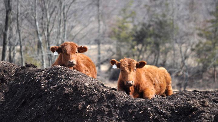 Cows at Martin Tract