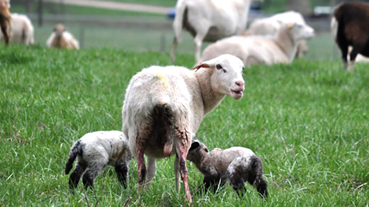 Checking In With The Lambs