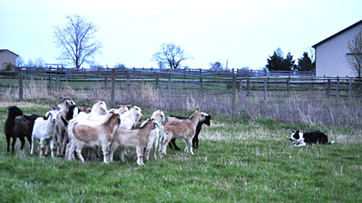 The Goats are Getting Big!