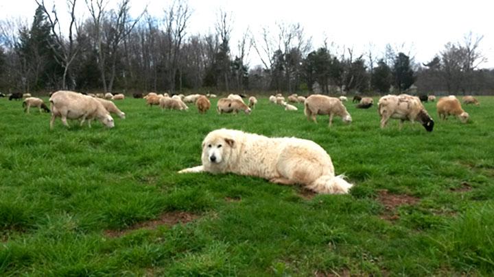 It's That Time of Year Again – Lambing Season