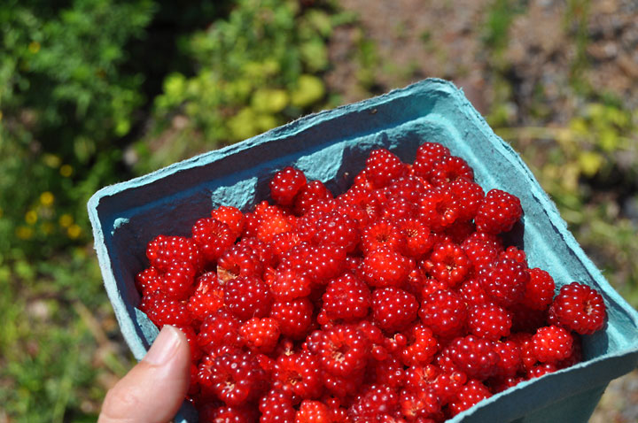 Double Brook Farm - Harvesting Wineberries in the Forest