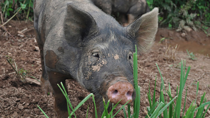 Blue Update and Pigs on Pasture