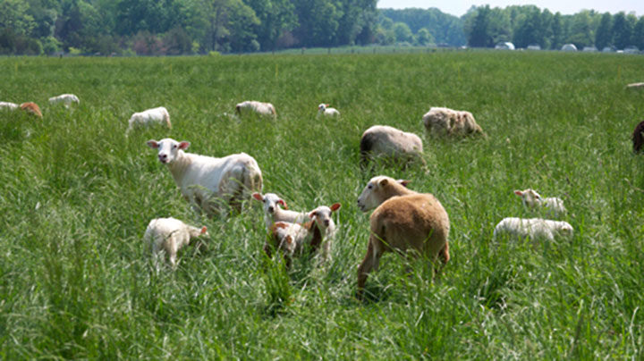 Lambs and Pigs on Pasture