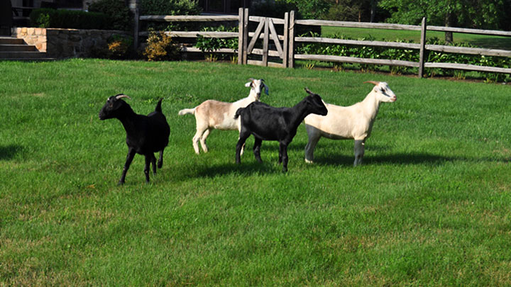Double Brook Farm - Goats, Escape Artists of the Farm