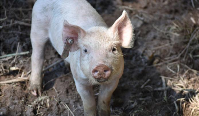 DBF_Pigs_10_2018_3