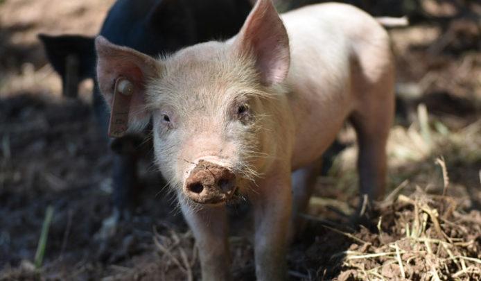 DBF_Pigs_10_2018_5