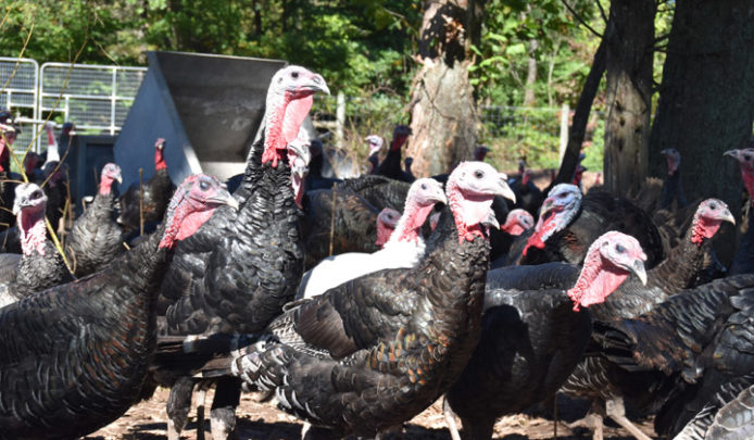 Turkey Time Order Your Fresh Heritage Bird From The Farm Double Brook Farm