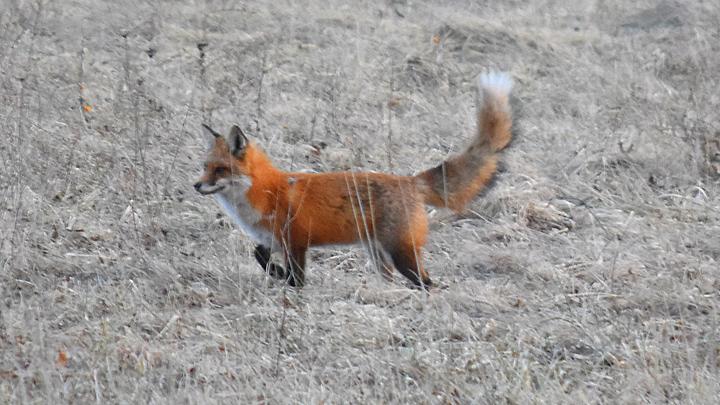 DBF_Fox