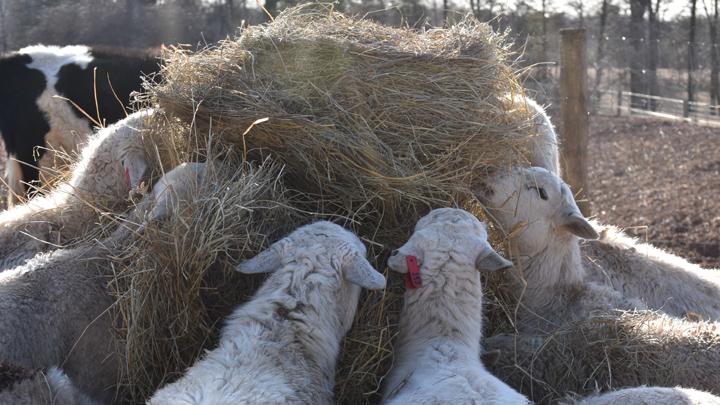 DBF_Sheep3